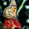 community_migrate_monarch: Communities migrate like Monarchs