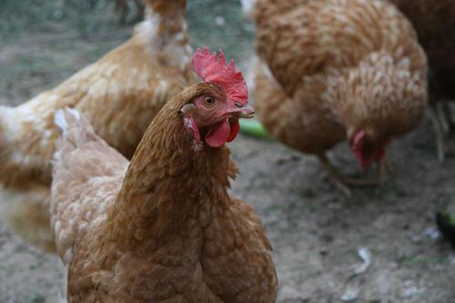 chicken-flickr